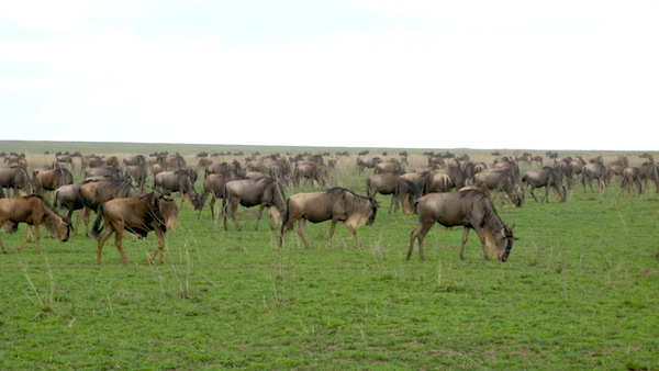 1203774469_wildebeasts-migration-ndutu-04